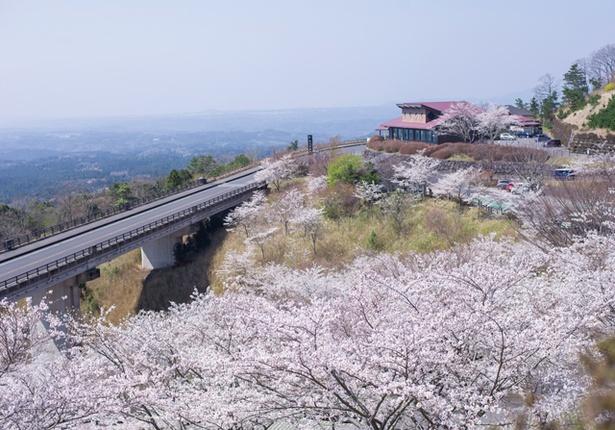 「霧島神話の里公園の桜」のお花見(鹿児島県霧島市霧島)