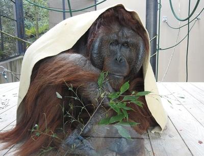 【写真を見る】福岡市動物園 / 布をかぶるのが大好きなボルネオオランウータンのミミくん(推定49歳)