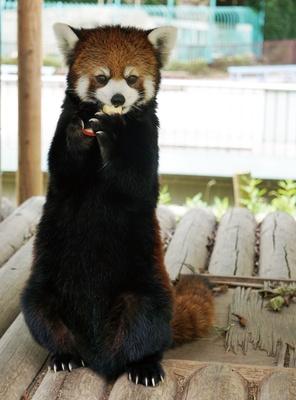 福岡市動物園 / リンゴを食べる時の凛とした立ち姿が人気の、「レッサーパンダ」にも会える!