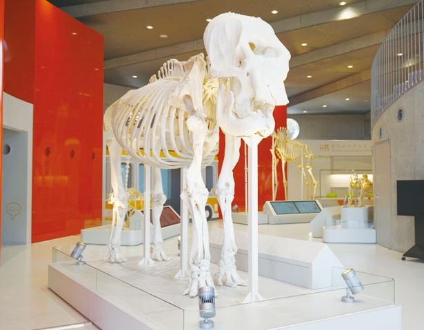 福岡市動物園 / 巨大な骨格標本も!