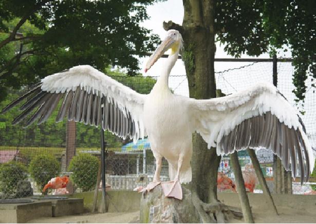 久留米市鳥類センター / お魚をひと口でペロリ!人気のモモイロペリカン