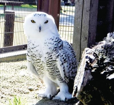 久留米市鳥類センター / 表情豊かな目が特徴的なシロフクロウのふくちゃん