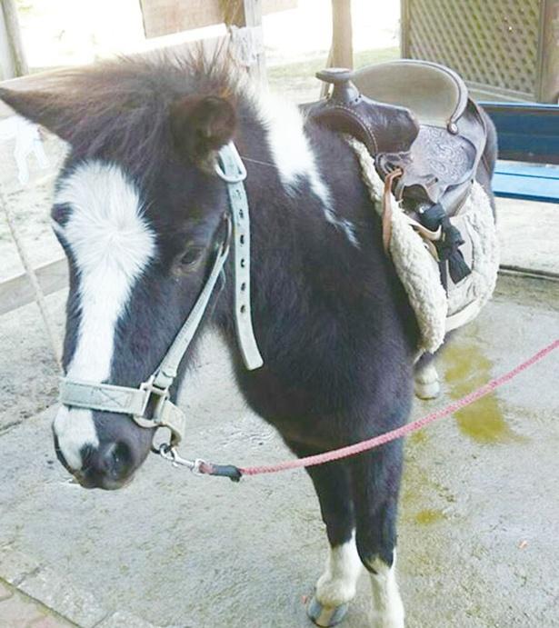 ふれあい動物園ピクニカ共和国 / ポニーのチビちゃん。乗馬できる