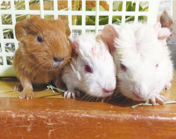 ふれあい動物園ピクニカ共和国 / モルモットの赤ちゃんたちがお出迎え
