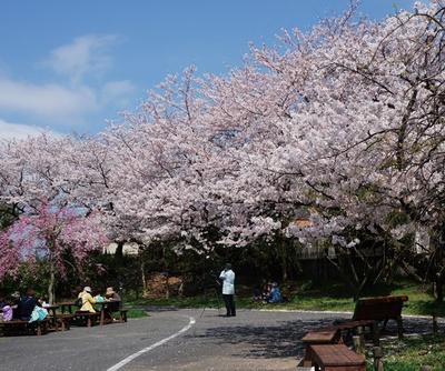 到津の森公園 / 春はサクラの観賞スポットとしておなじみの園地ゾーン