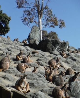 ひびき動物ワールド / 岩山でたそがれるイエローフーティッドロックワラビー