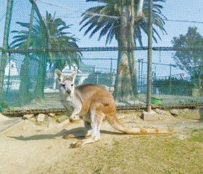 ひびき動物ワールド / 毛が長いケナガワラルー。日本にわずか30頭しかいない