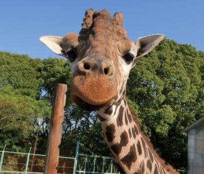 大牟田市動物園 / キリンのリンは13歳。とても好奇心旺盛な性格