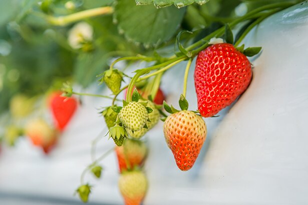 よしはらいちご園では、紅ほっぺ、あまおとめ、よつぼし、桃薫など8種類の品種が楽しめる