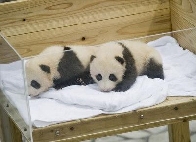 9月13日に誕生した双子パンダ。スタッフのマイクを通して声が聞こえることも!