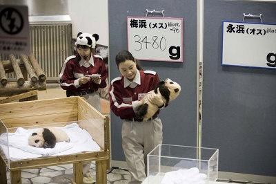 双子パンダの体重測定でその姿を見ることができる