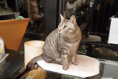 ボスの風格を漂わせ、店番をするトラ /「Chat Noir」