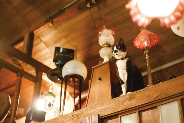 ランプの間に座って澄まし顔の小太郎君 /「cafe泉」
