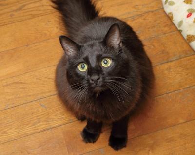 クロ(3歳、オス)。ねこじゃらしが大好きで甘えん坊だ /「Chat Noir」