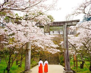 宝満宮竈門神社の桜 / 霊峰宝満山の麓に鎮座する緑豊かな縁結びの神社