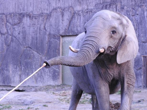 【写真を見る】鼻を器用に使ってエサを食べるゾウ