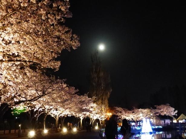 約3000本の桜が点在する園内の中で、選りすぐりの桜スポットをライトアップ
