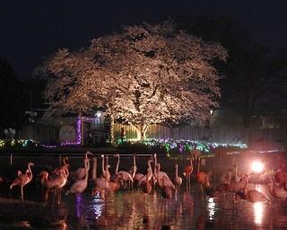 4日間限定の「夜桜ナイトZOO」、東武動物公園で桜とイルミを堪能