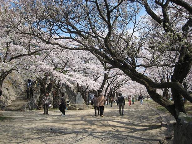 【写真を見る】園内には約250本の桜があり、市民を楽しませてくれる