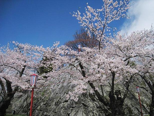 例年4月下旬から5月上旬まで咲く