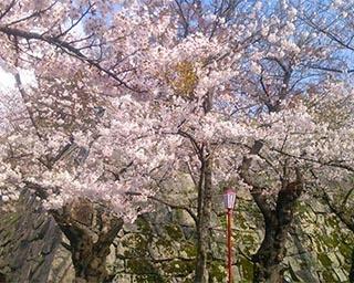 城跡の石垣に映える桜。岩手県盛岡市で「盛岡さくらまつり」開催