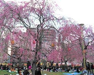 365本の桜が公園内に咲き誇る!宮城県仙台市の榴岡公園で「さくらまつり」開催