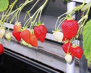 養液栽培でそのまま食べても安心!高知県南国市でいちご狩り開催中