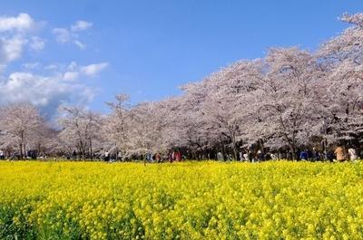 桜だけでなく、菜の花畑も今年初のライトアップ 「赤城南面千本桜」