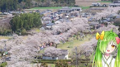 母智丘公園 / 2600本の桜ば楽しめるんよ!!