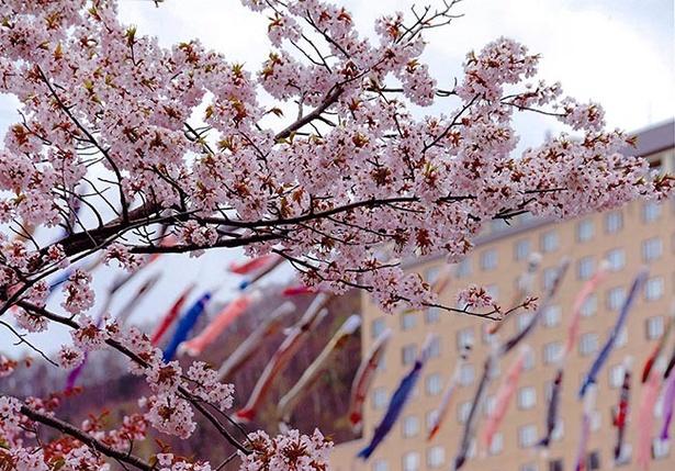 鮮やかな鯉のぼりと桜のコントラストが美しい