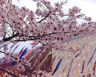 北海道・定山渓温泉を彩る風物詩。札幌市で「定山渓温泉渓流鯉のぼり」開催