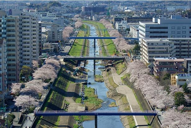 「第63回 戸塚桜まつり」では花見おどりなどが披露
