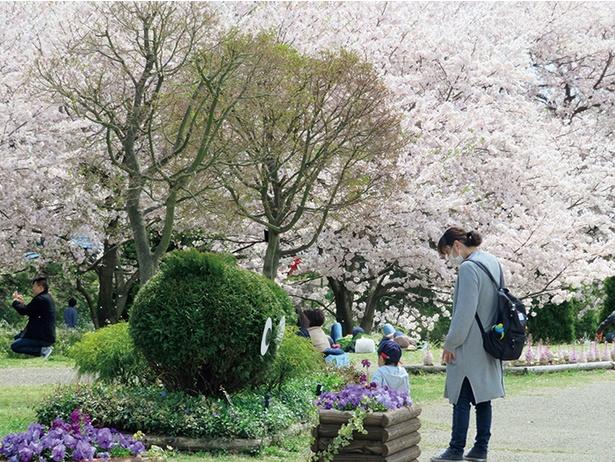 園内随所にサクラの木が。鳩川にかかる「さくら橋」 から望むのも一興