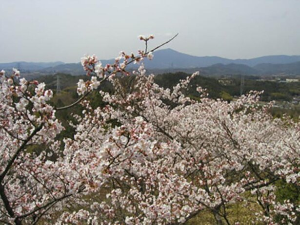淡い色で儚げな印象を与えるソメイヨシノが咲き誇る