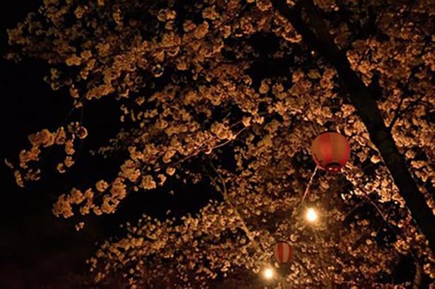 【写真を見る】さくら祭り期間中は提灯によるライトアップも