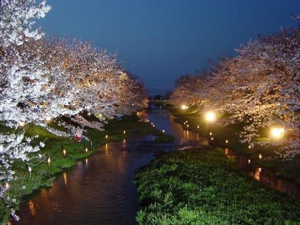 【写真を見る】ライトアップされた桜は昼とは異なる表情を魅せる