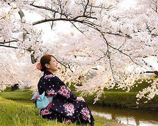 桜色に色づく温泉街。島根県松江市で「玉湯川堤の桜」がまもなく見頃