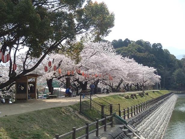 豊かな自然環境が魅力の滝の宮公園。緑に桜色がよく映える