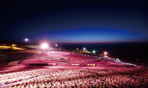 【写真を見る】「芝桜まつり」期間中の19時から21時までライトアップされる