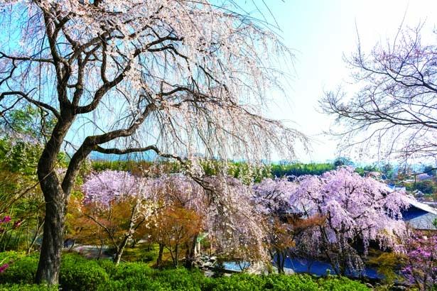 「望京の丘」から眺める天龍寺境内。シダレザクラやヤマザクラ、ソメイヨシノなどさまざまな桜が楽しめる/天龍寺
