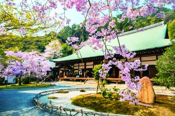 二尊を安置している荘厳な本堂。そこに彩りを添えているのが、薄いピンクの花を付ける満開のシダレザクラ/二尊院