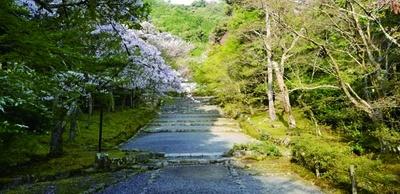 「紅葉の馬場」と呼ばれ、紅葉の名所として知られている参道も、春は桜の馬場に/二尊院