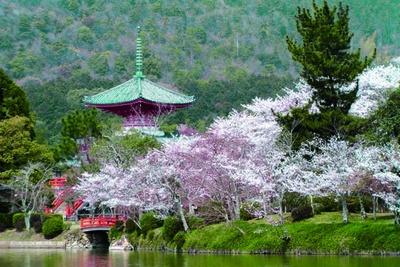 約1kmの池の周囲にはソメイヨシノやヤエザクラが咲き乱れる。夕暮れ時は水面が照らされ、さらに幻想的/大本山 大覚寺