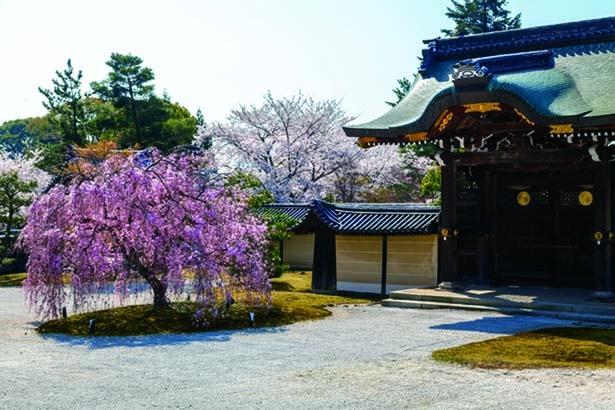 勅使門前の開けた境内にある1本のシダレザクラ。その美しい枝ぶりで存在感抜群/大本山 大覚寺