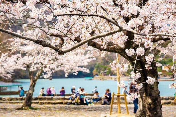 公園のいたる所でソメイヨシノが満開に。川沿いに腰を下ろし、暖かい春の陽気と桜をのんびり楽しんで/嵐山公園 中之島地区