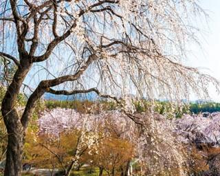 自然を借景にした桜絶景!嵐山の桜名所めぐり6選