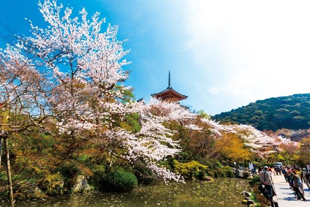 「放生池」から、高さ31mを誇る日本最大級の三重塔を池の周辺から眺めると、美しい桜と木々の緑、塔の朱色がかれんなコントラストを描きます/清水寺