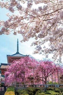 【写真を見る】「西門周辺」では、ほかの桜よりも少し早く開花するベニシダレザクラなどが見られます。太陽が西山の向こうにゆっくりと沈んでいく夕暮れ時の景観も格別/清水寺