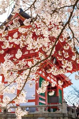 「仁王門」は1500年代初めに再建され、03年に解体修理された。棟高約14mの堂々たる国の重要文化財を、あでやかなピンク色が彩る/清水寺