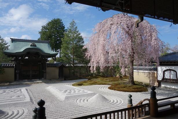 「波心庭(方丈前庭)」で力強く咲き誇りピンク色が白い砂紋に映えるシダレザクラは、高台寺を代表する一本。ダイナミックさの中にある桜特有の繊細さで魅了/高台寺
